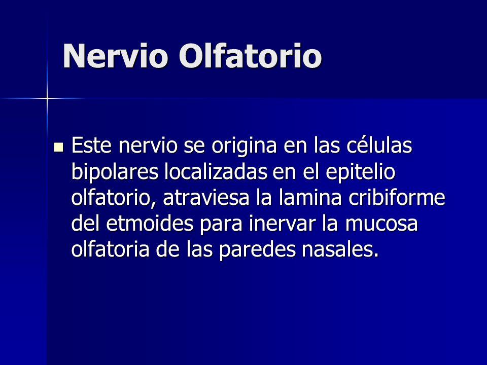 Este nervio se origina en las células bipolares localizadas en el epitelio olfatorio, atraviesa la lamina cribiforme del etmoides para inervar la muco