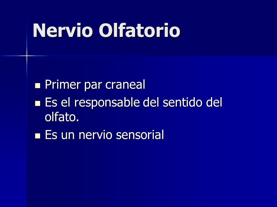 Nervio Olfatorio Primer par craneal Primer par craneal Es el responsable del sentido del olfato. Es el responsable del sentido del olfato. Es un nervi