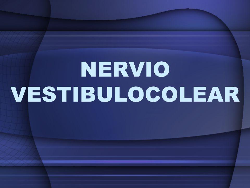 Nervio Craneano exclusivamente sensorial de una rama coclear o acústica y otra rama vestibular que conduce excitaciones especificas del sentido del equilibrio
