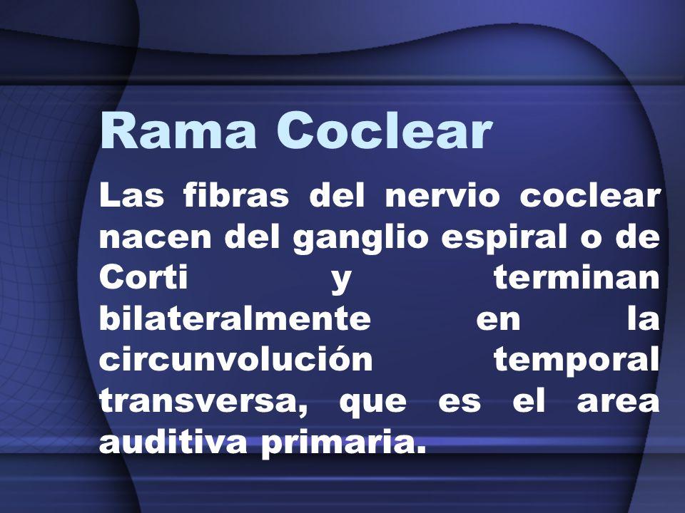 Rama Coclear Las fibras del nervio coclear nacen del ganglio espiral o de Corti y terminan bilateralmente en la circunvolución temporal transversa, qu