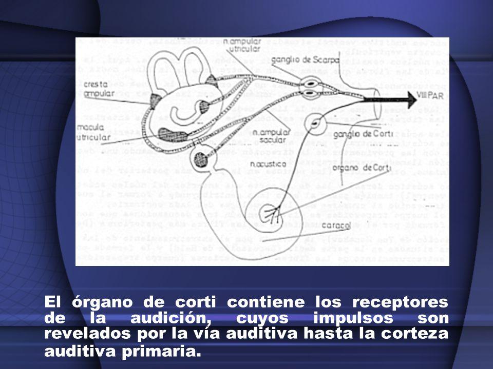 Alteraciones del nervio coclear: Sordera Hipoacusia Paracusia Tinnitus