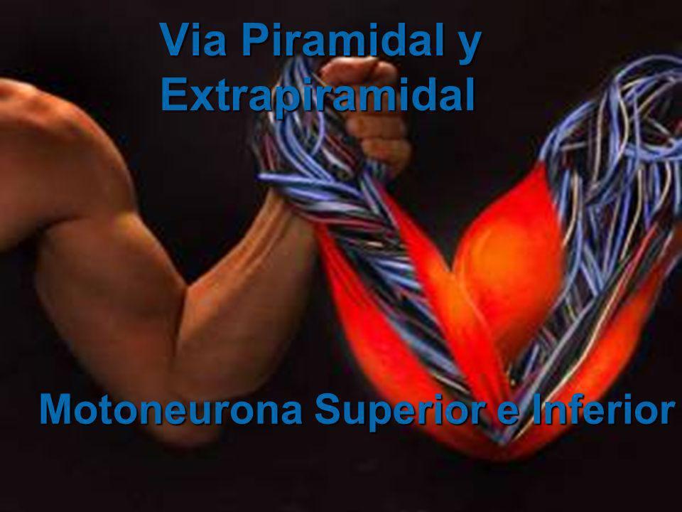 Vías motoras directas Los impulsos nerviosos para los movimientos se propagan de la corteza motora a los motoneuronas que inervan los músculos esqueléticos.