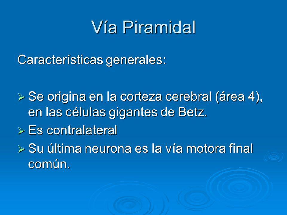 Vía Piramidal Características generales: Se Se origina en la corteza cerebral (área 4), en las células gigantes de Betz. Es Es contralateral Su Su últ