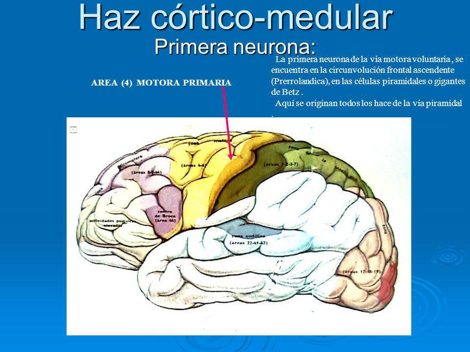 Haz córtico-medular Primera neurona: La primera neurona de la vía motora voluntaria, se encuentra en la circunvolución frontal ascendente (Prerrolandi