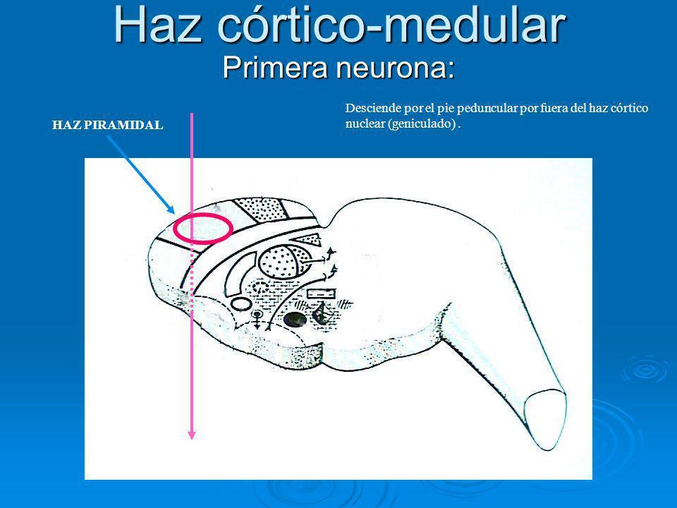 Haz córtico-medular Primera neurona: Desciende por el pie peduncular por fuera del haz córtico nuclear (geniculado). HAZ PIRAMIDAL