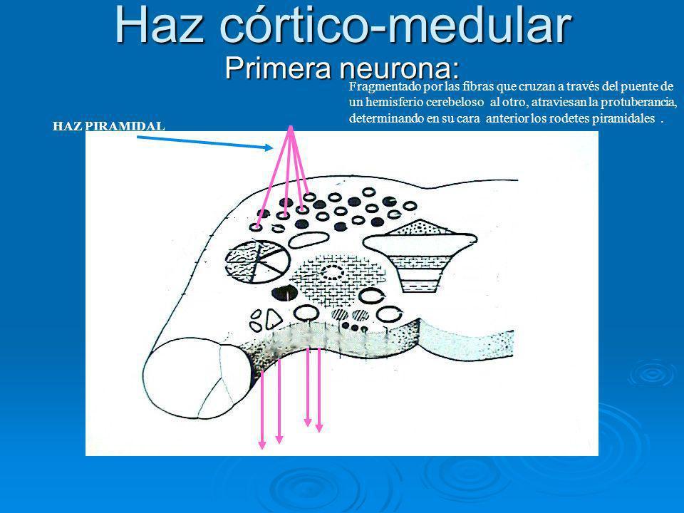 Haz córtico-medular Primera neurona: Fragmentado por las fibras que cruzan a través del puente de un hemisferio cerebeloso al otro, atraviesan la prot
