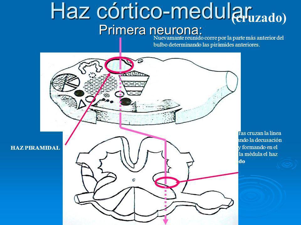 Haz córtico-medular Primera neurona: Nuevamante reunido corre por la parte más anterior del bulbo determinando las pirámides anteriores. HAZ PIRAMIDAL