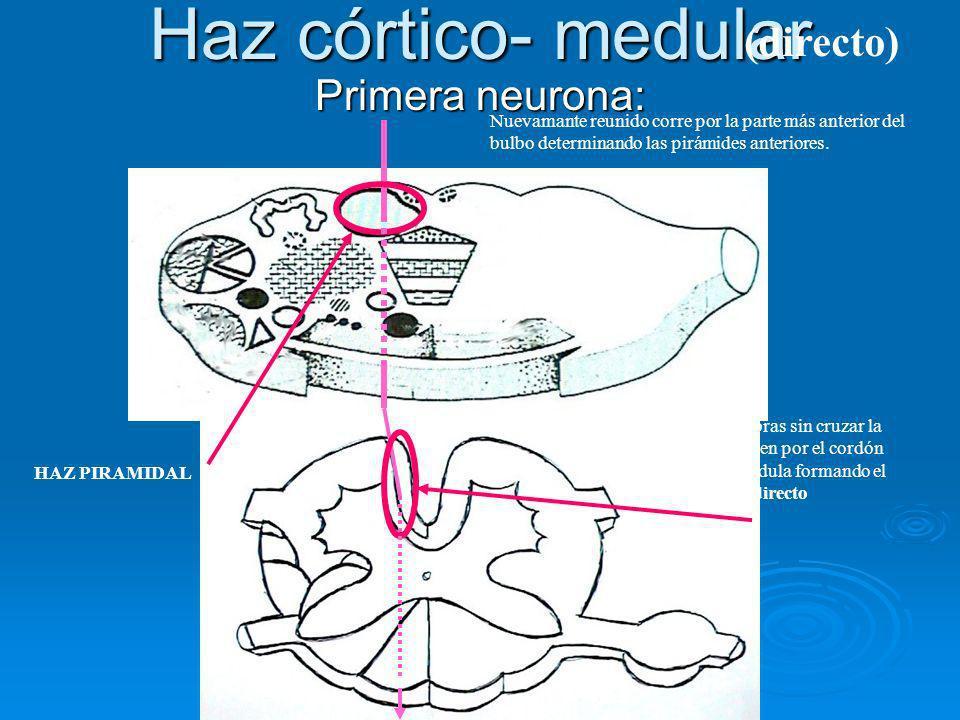 Haz córtico- medular Primera neurona: Nuevamante reunido corre por la parte más anterior del bulbo determinando las pirámides anteriores. HAZ PIRAMIDA