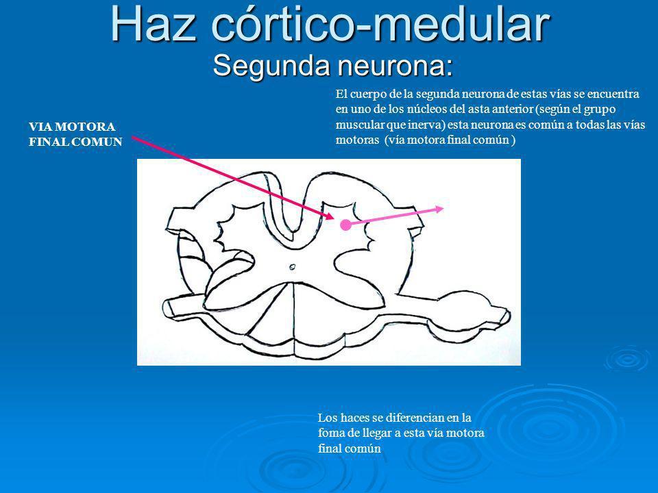 Haz córtico-medular Segunda neurona: Segunda neurona: El cuerpo de la segunda neurona de estas vías se encuentra en uno de los núcleos del asta anteri