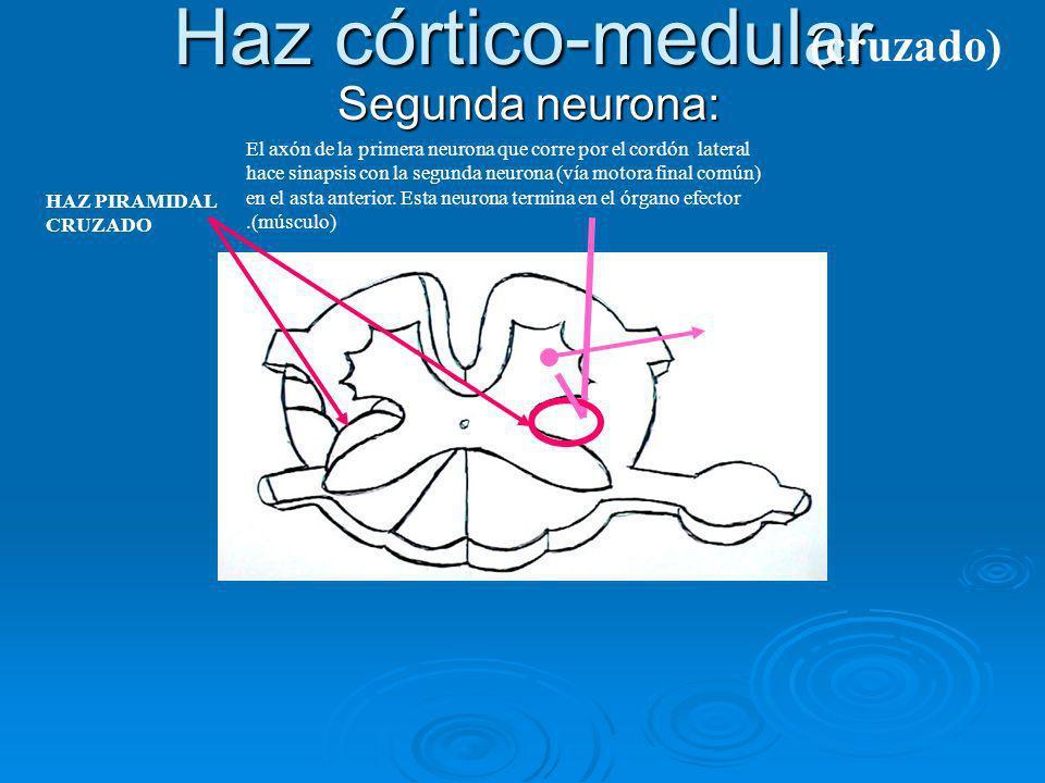 Haz córtico-medular Segunda neurona: Segunda neurona: El axón de la primera neurona que corre por el cordón lateral hace sinapsis con la segunda neuro