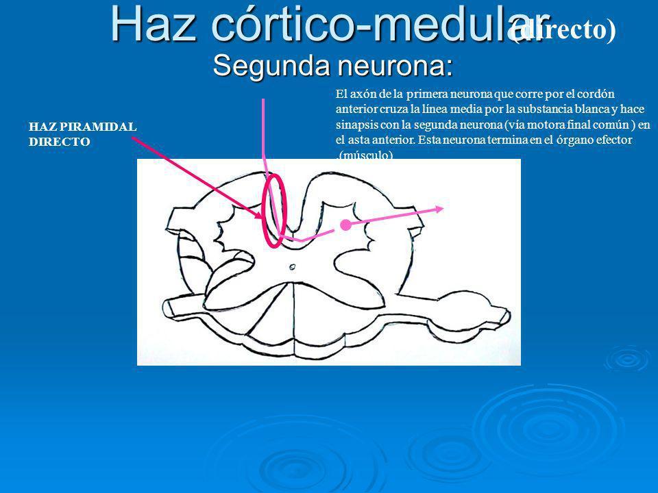 Haz córtico-medular Segunda neurona: Segunda neurona: El axón de la primera neurona que corre por el cordón anterior cruza la línea media por la subst