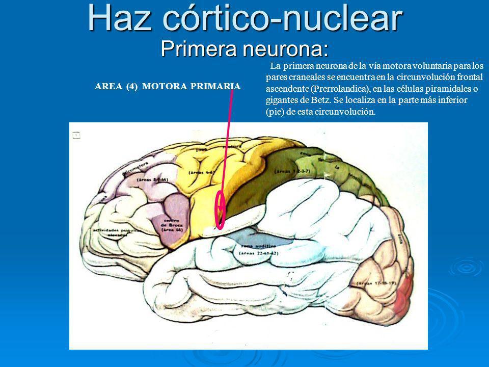Haz córtico-nuclear Primera neurona: La primera neurona de la vía motora voluntaria para los pares craneales se encuentra en la circunvolución frontal
