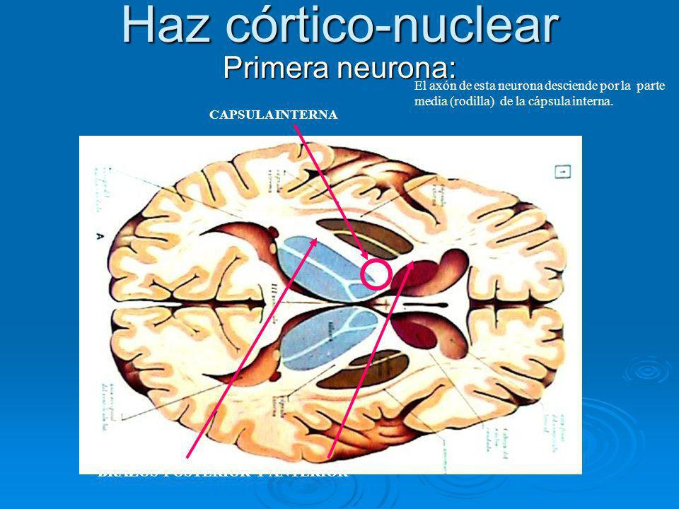Haz córtico-nuclear Primera neurona: El axón de esta neurona desciende por la parte media (rodilla) de la cápsula interna. CAPSULA INTERNA BRAZOS POST