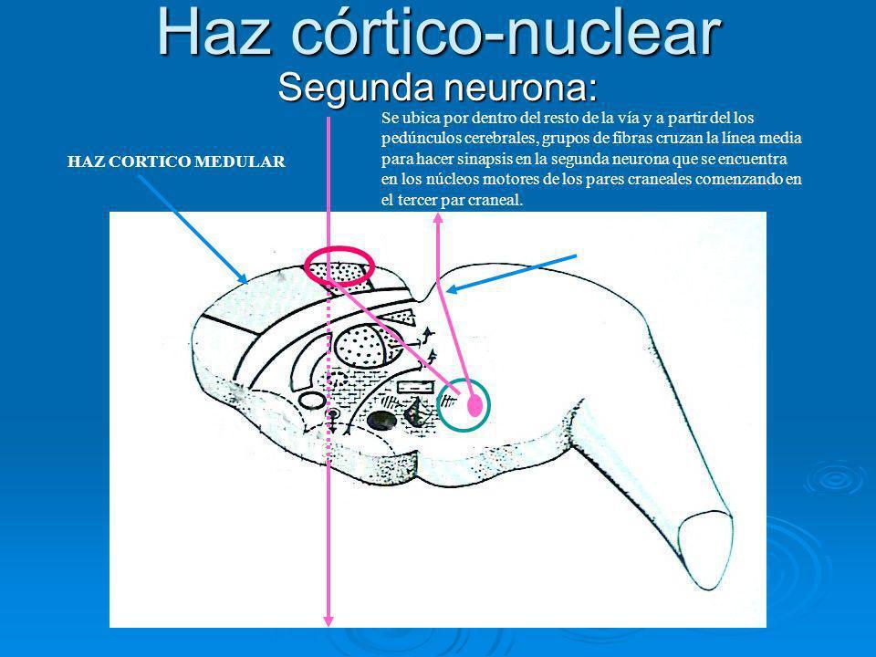 Haz córtico-nuclear Segunda neurona: Se ubica por dentro del resto de la vía y a partir del los pedúnculos cerebrales, grupos de fibras cruzan la líne