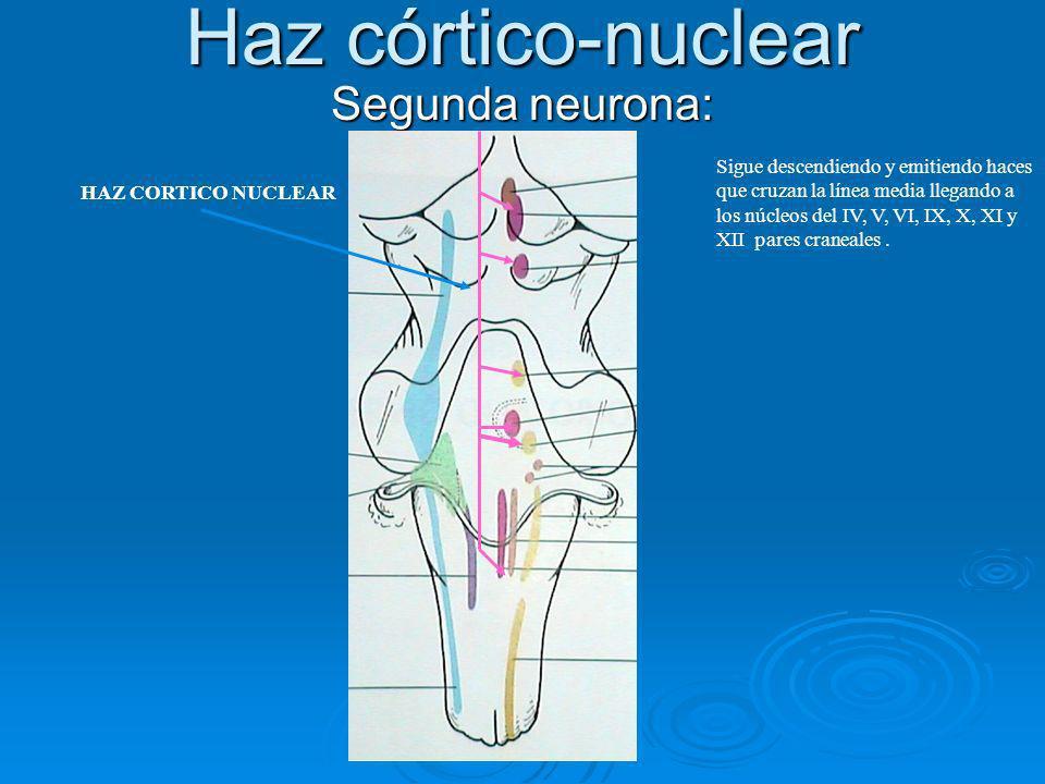 Haz córtico-nuclear Segunda neurona: Sigue descendiendo y emitiendo haces que cruzan la línea media llegando a los núcleos del IV, V, VI, IX, X, XI y