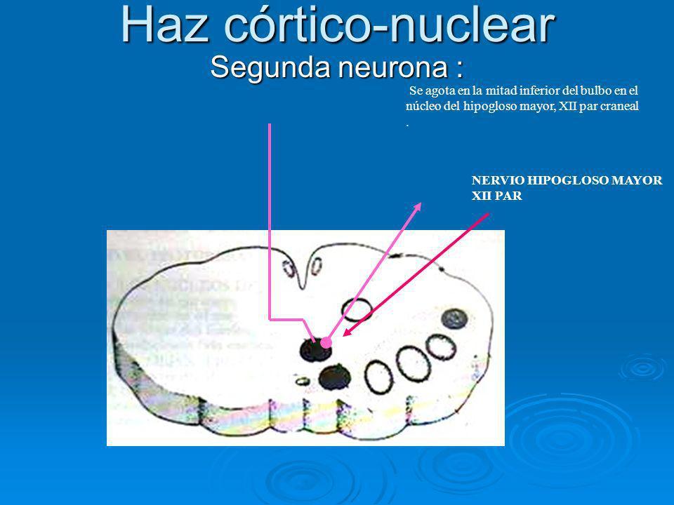 Haz córtico-nuclear Segunda neurona : Se agota en la mitad inferior del bulbo en el núcleo del hipogloso mayor, XII par craneal. NERVIO HIPOGLOSO MAYO