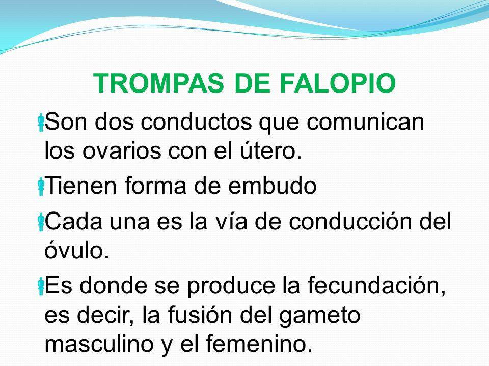 TROMPAS DE FALOPIO Son dos conductos que comunican los ovarios con el útero. Tienen forma de embudo Cada una es la vía de conducción del óvulo. Es don