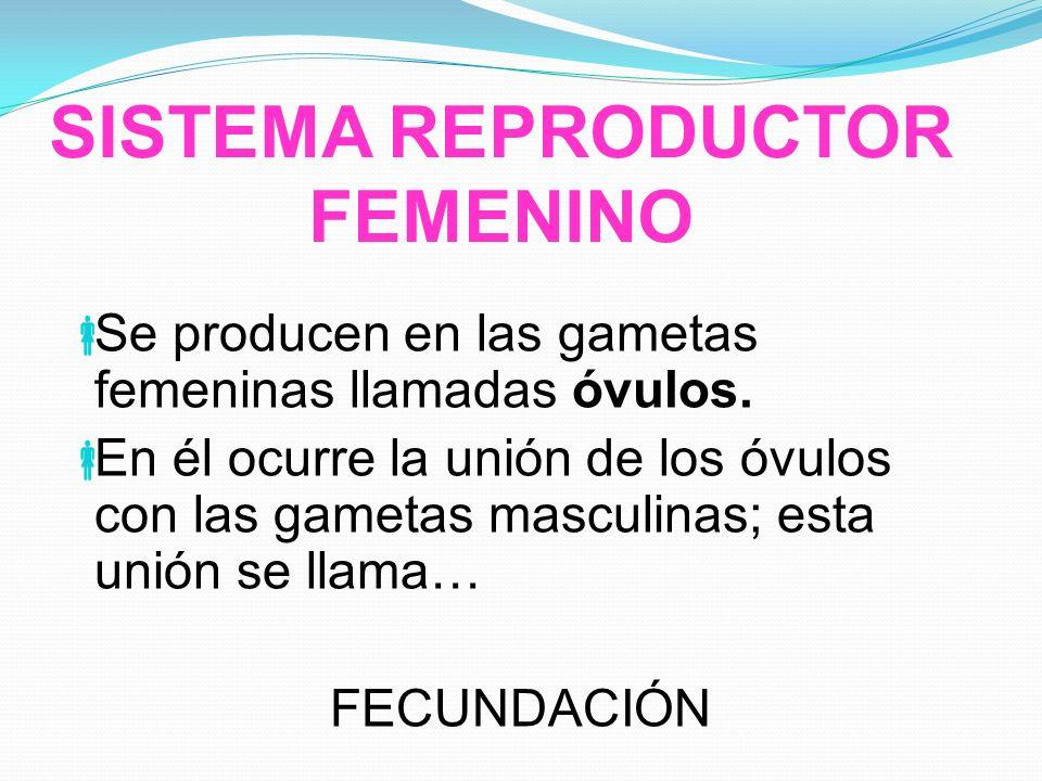 SISTEMA REPRODUCTOR FEMENINO Se producen en las gametas femeninas llamadas óvulos. En él ocurre la unión de los óvulos con las gametas masculinas; est