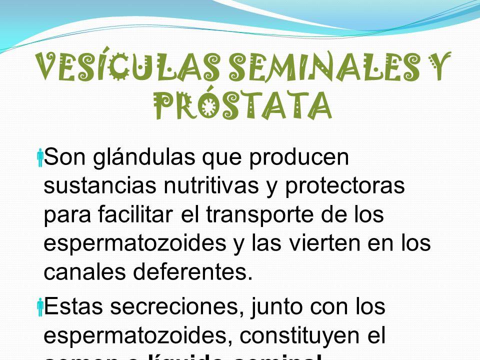 VESÍCULAS SEMINALES Y PRÓSTATA Son glándulas que producen sustancias nutritivas y protectoras para facilitar el transporte de los espermatozoides y la