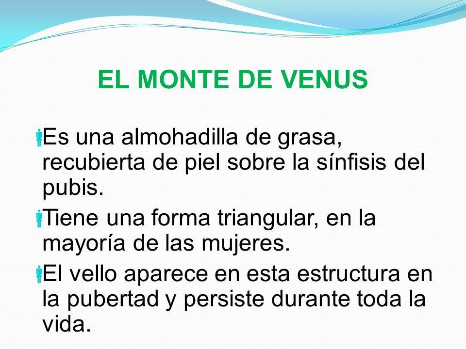 EL MONTE DE VENUS Es una almohadilla de grasa, recubierta de piel sobre la sínfisis del pubis. Tiene una forma triangular, en la mayoría de las mujere