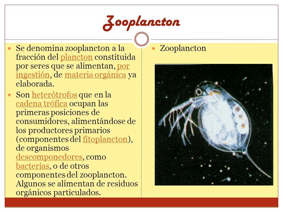 Zooplancton Se denomina zooplancton a la fracción del plancton constituida por seres que se alimentan, por ingestión, de materia orgánica ya elaborada