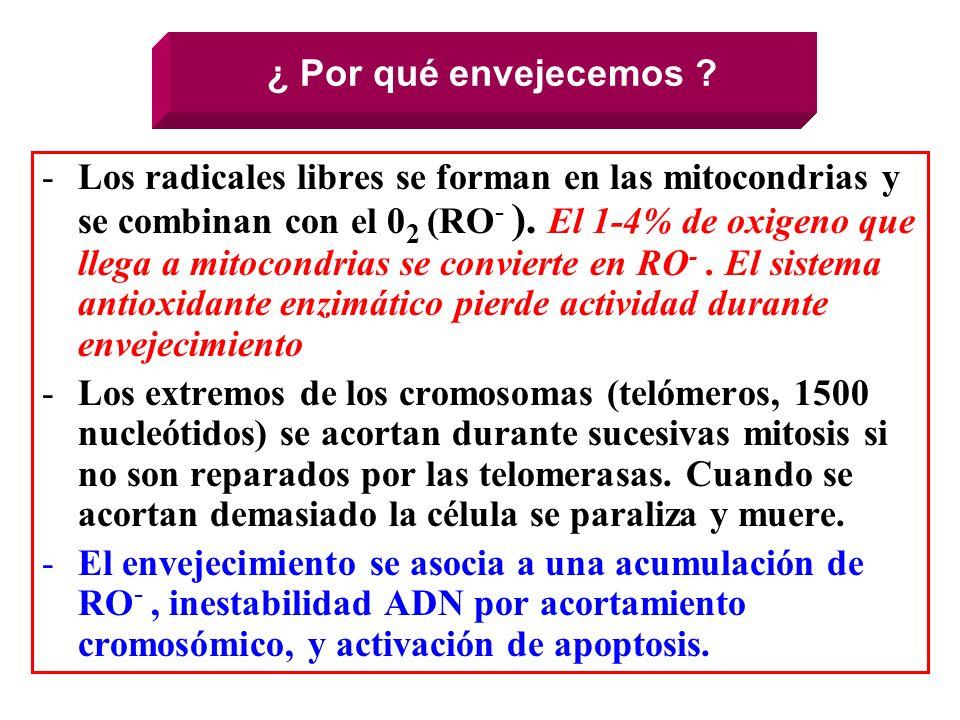 ¿ Por qué envejecemos ? -Los radicales libres se forman en las mitocondrias y se combinan con el 0 2 (RO - ). El 1-4% de oxigeno que llega a mitocondr