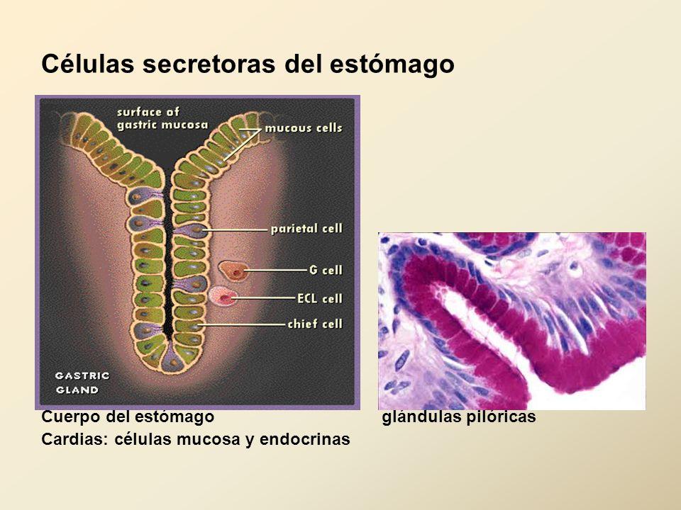Células secretoras del estómago Cuerpo del estómago glándulas pilóricas Cardias: células mucosa y endocrinas