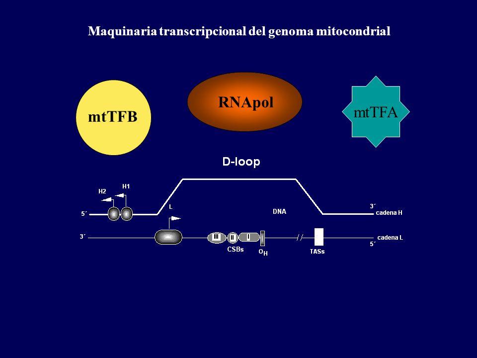 Maquinaria transcripcional del genoma mitocondrial mtTFA RNApol mtTFB