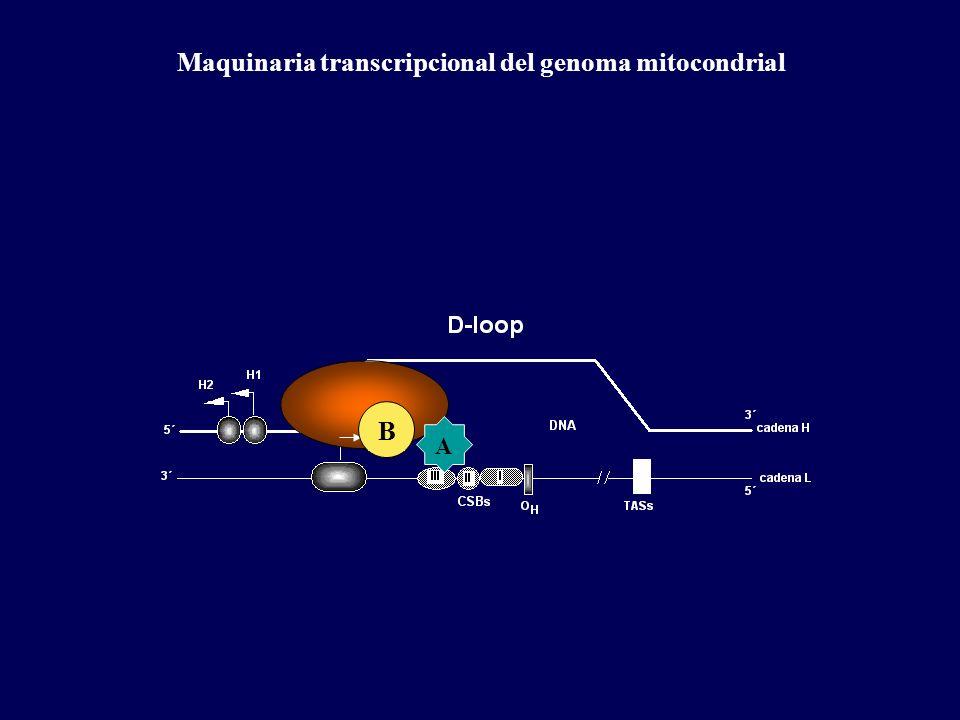 Maquinaria transcripcional del genoma mitocondrial B A
