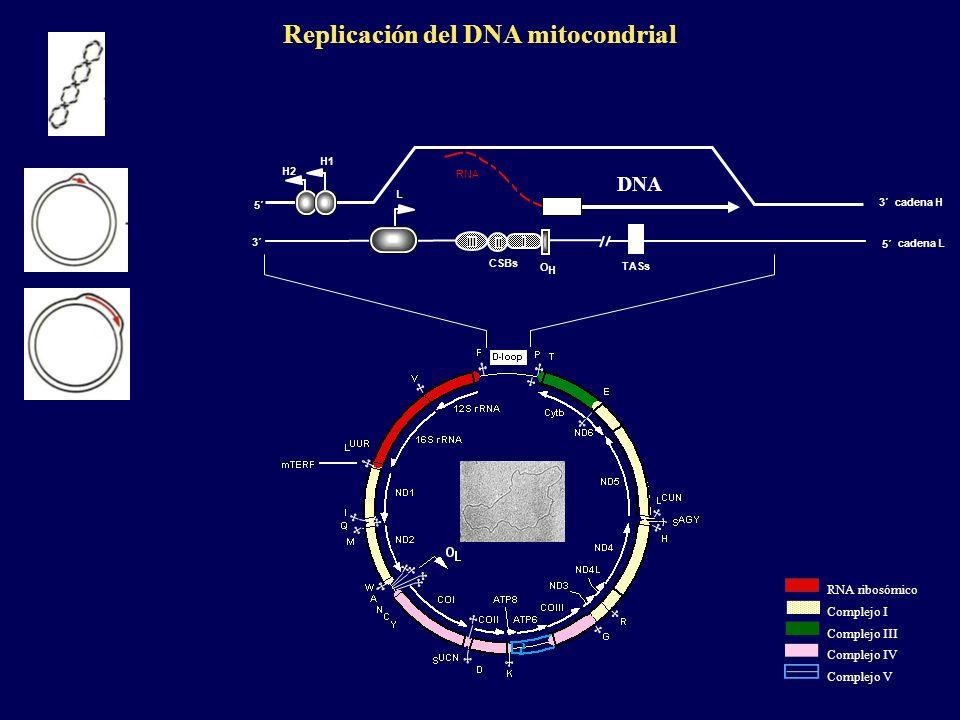 Replicación del DNA mitocondrial cadena H cadena L 5´ 3´ TASs I II III CSBs O H H1 H2 L RNA ribosómico Complejo III Complejo I Complejo IV Complejo V