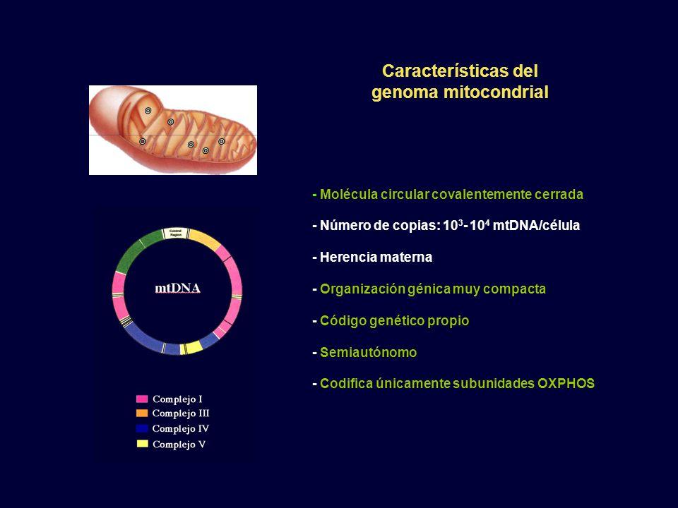 - Molécula circular covalentemente cerrada - Número de copias: 10 3 - 10 4 mtDNA/célula - Herencia materna - Organización génica muy compacta - Código