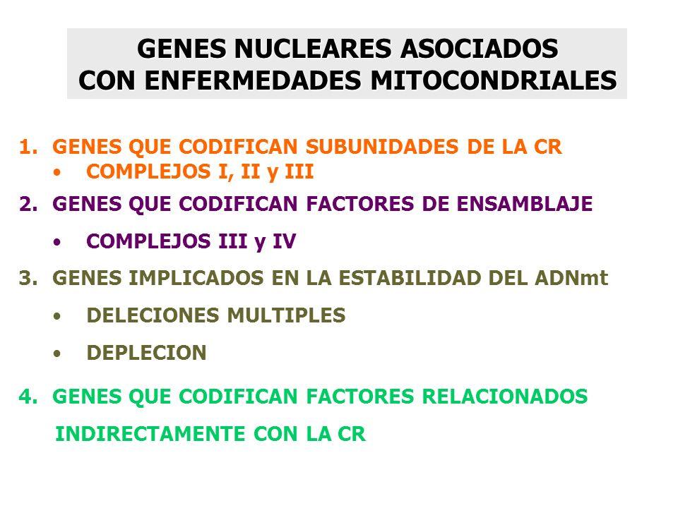GENES NUCLEARES ASOCIADOS CON ENFERMEDADES MITOCONDRIALES 1.GENES QUE CODIFICAN SUBUNIDADES DE LA CR COMPLEJOS I, II y III 2.GENES QUE CODIFICAN FACTO