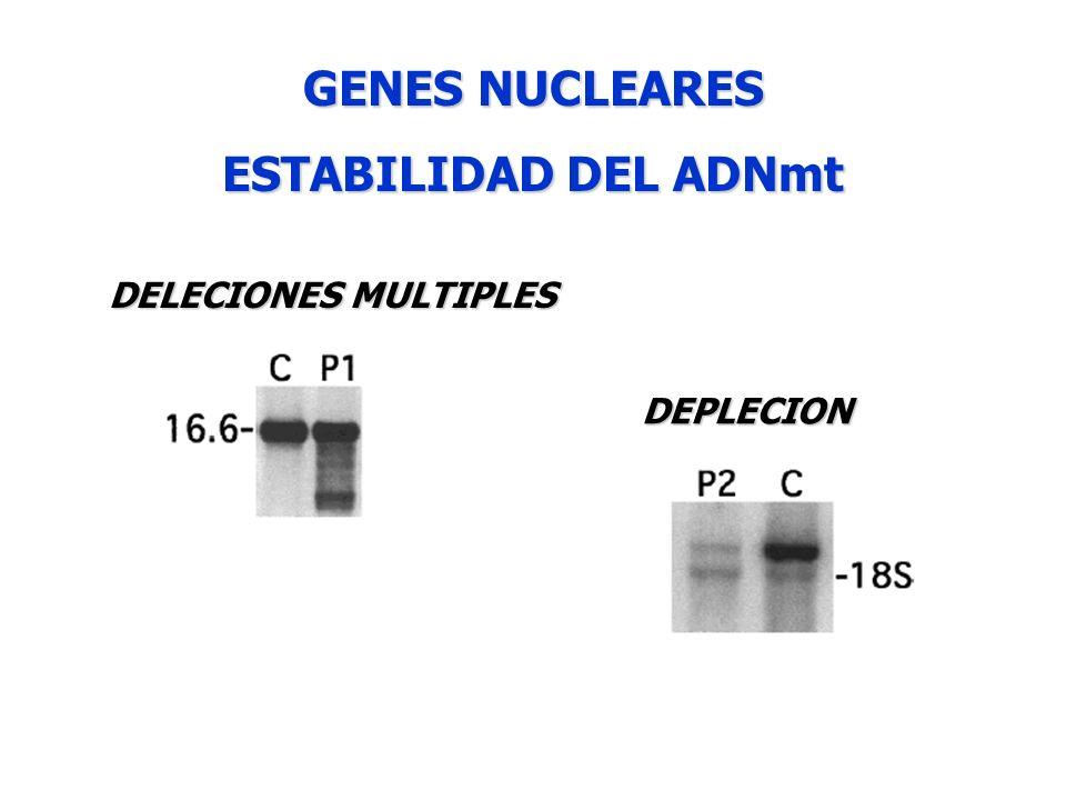 GENES NUCLEARES ESTABILIDAD DEL ADNmt DELECIONES MULTIPLES DEPLECION
