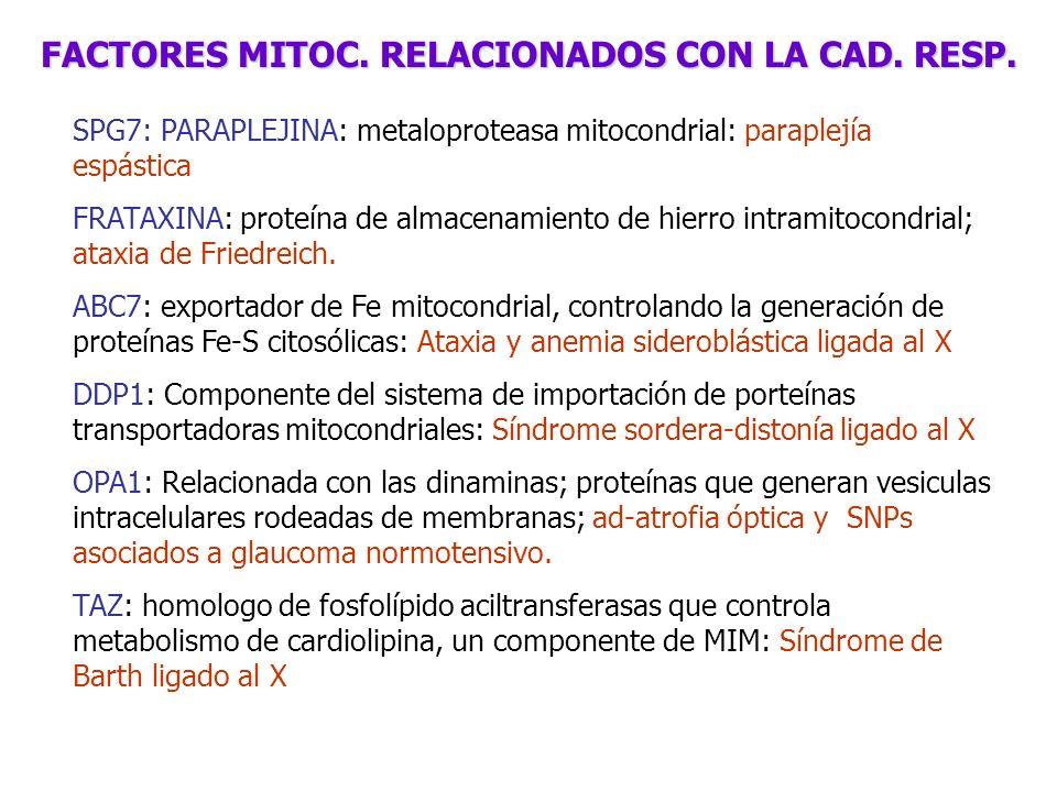 SPG7: PARAPLEJINA: metaloproteasa mitocondrial: paraplejía espástica FRATAXINA: proteína de almacenamiento de hierro intramitocondrial; ataxia de Frie