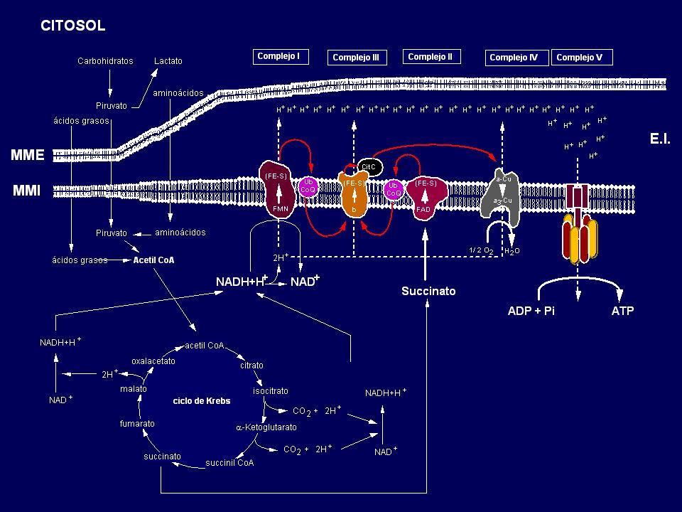 ND1 ND2 ND3 ND4L ND4 ND5 ND6 COI COII COIII ATPasa6 rRNA 12S rRNA 16S Phe Val Leu (UUR) Ile f - Met Gln Ala Asn Cys Tyr Ser (UCN) Asp Lys Gly Arg His Ser (AGY) Leu (CUN) Glu Pro Thr BUCLE - D CADENA PESADA CADENA LIGERA OLOL OHOH ATPasa8 mtDNA Trp Cyt.b