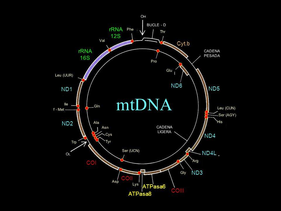 - Molécula circular covalentemente cerrada - Organización génica muy compacta - Código genético propio - Semiautónomo - Codifica únicamente subunidades OXPHOS (+tRNAs + rRNAs) Características del genoma mitocondrial