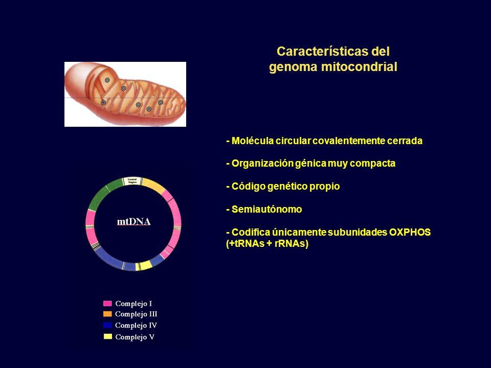 - Molécula circular covalentemente cerrada - Organización génica muy compacta - Código genético propio - Semiautónomo - Codifica únicamente subunidade