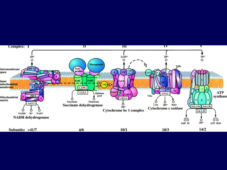 Replicación del DNA mitocondrial RNA ribosómico Complejo III Complejo I Complejo IV Complejo V 5´ RNA 3´