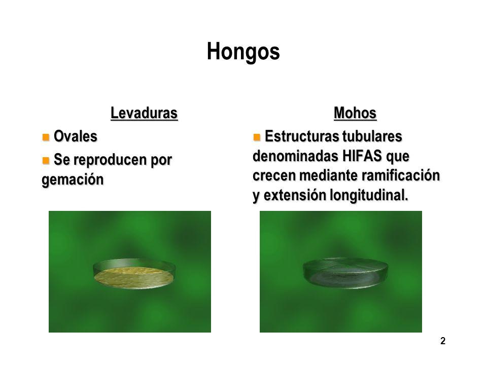 2 Hongos Levaduras n Ovales n Se reproducen por gemación Mohos n Estructuras tubulares denominadas HIFAS que crecen mediante ramificación y extensión