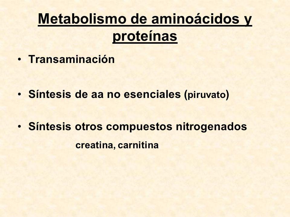 Metabolismo de aminoácidos y proteínas Transaminación Síntesis de aa no esenciales ( piruvato ) Síntesis otros compuestos nitrogenados creatina, carni