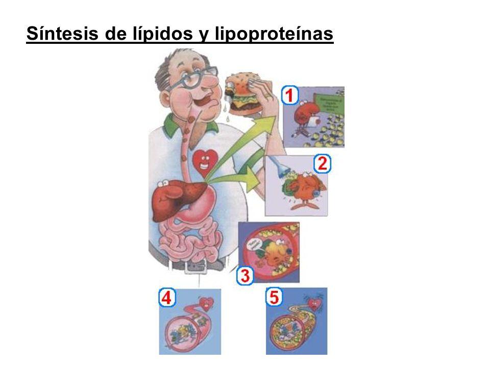 Síntesis de lípidos y lipoproteínas