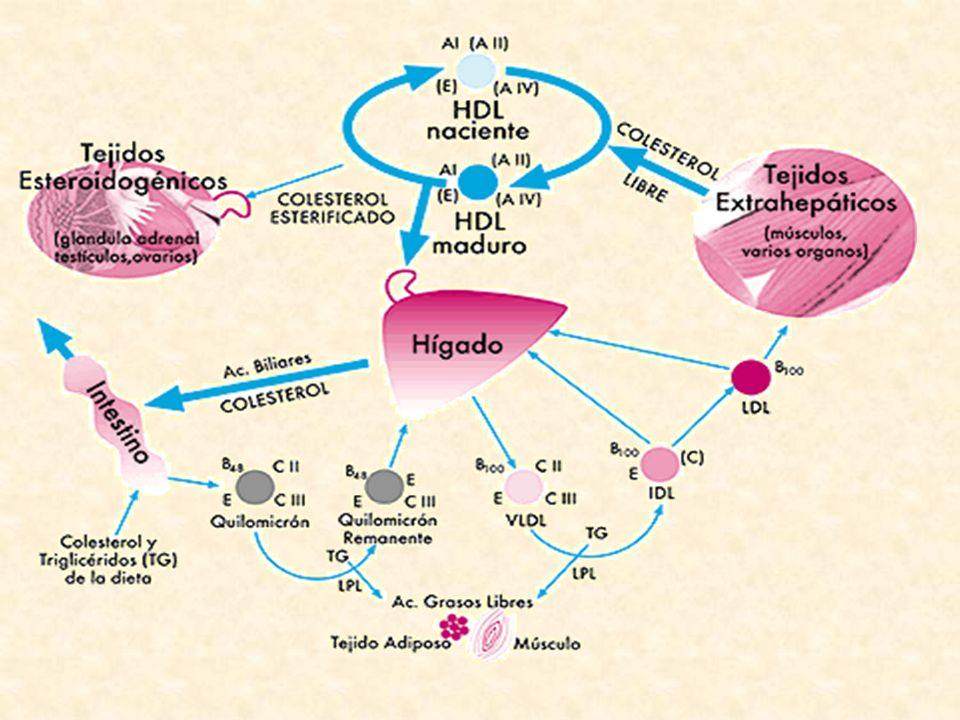 Enzimas hepáticos: distribución subcelular AST y ALT: citoplasma y mitocondria ALP: membrana sinusoides, venas central y periportal GGT: membrana canalículo biliar, ductus periportales