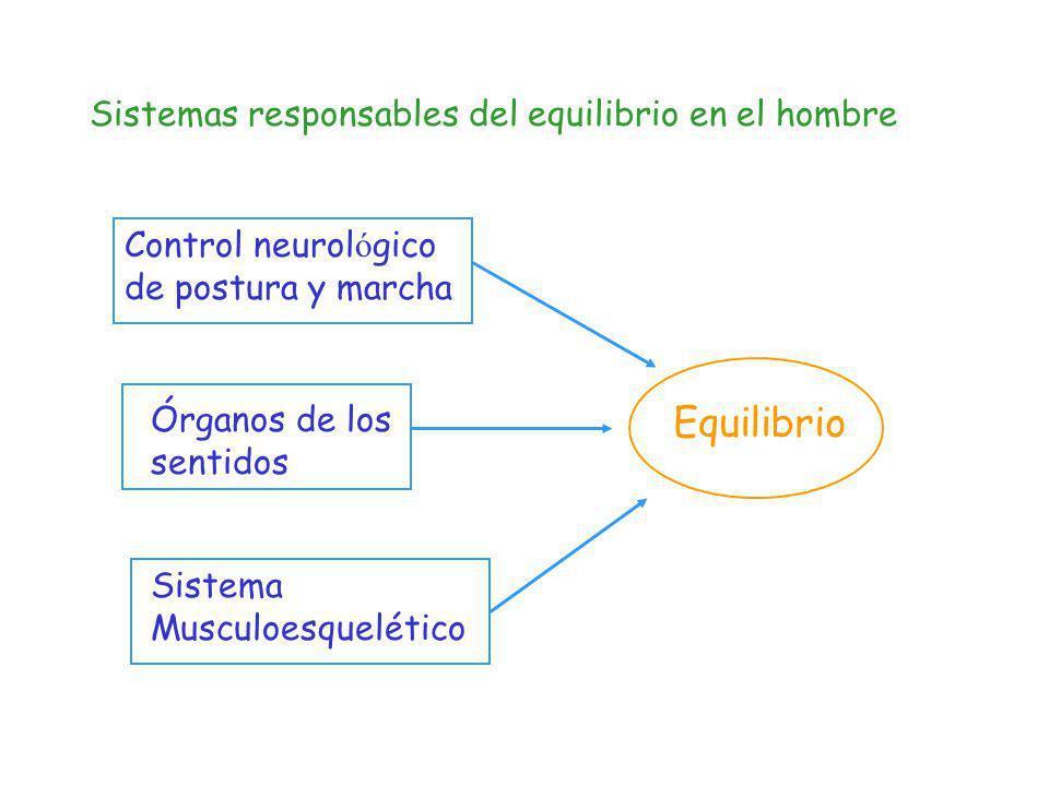 Sistemas responsables del equilibrio en el hombre Sistema Musculoesquelético Órganos de los sentidos Control neurol ó gico de postura y marcha Equilib