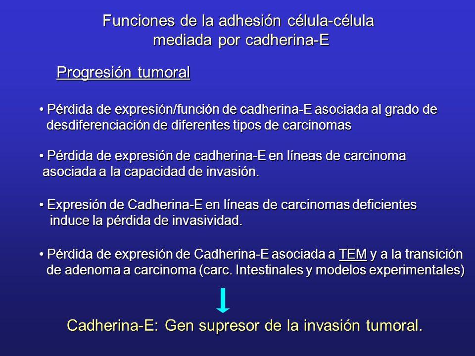 Funciones de la adhesión célula-célula mediada por cadherina-E Progresión tumoral Pérdida de expresión/función de cadherina-E asociada al grado de Pér