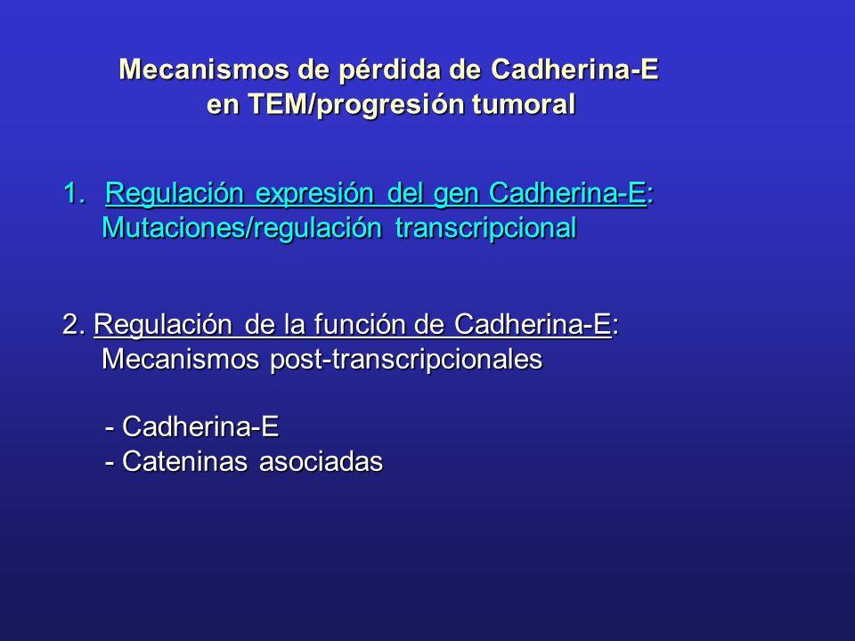 Mecanismos de pérdida de Cadherina-E en TEM/progresión tumoral 1.Regulación expresión del gen Cadherina-E: Mutaciones/regulación transcripcional Mutac