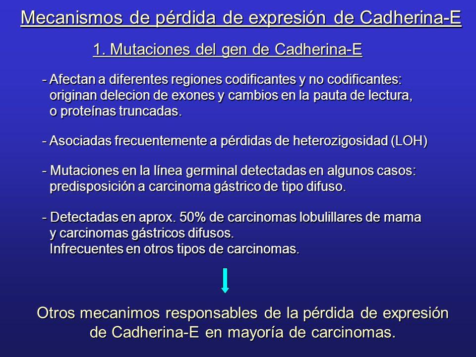 1. Mutaciones del gen de Cadherina-E - Afectan a diferentes regiones codificantes y no codificantes: originan delecion de exones y cambios en la pauta