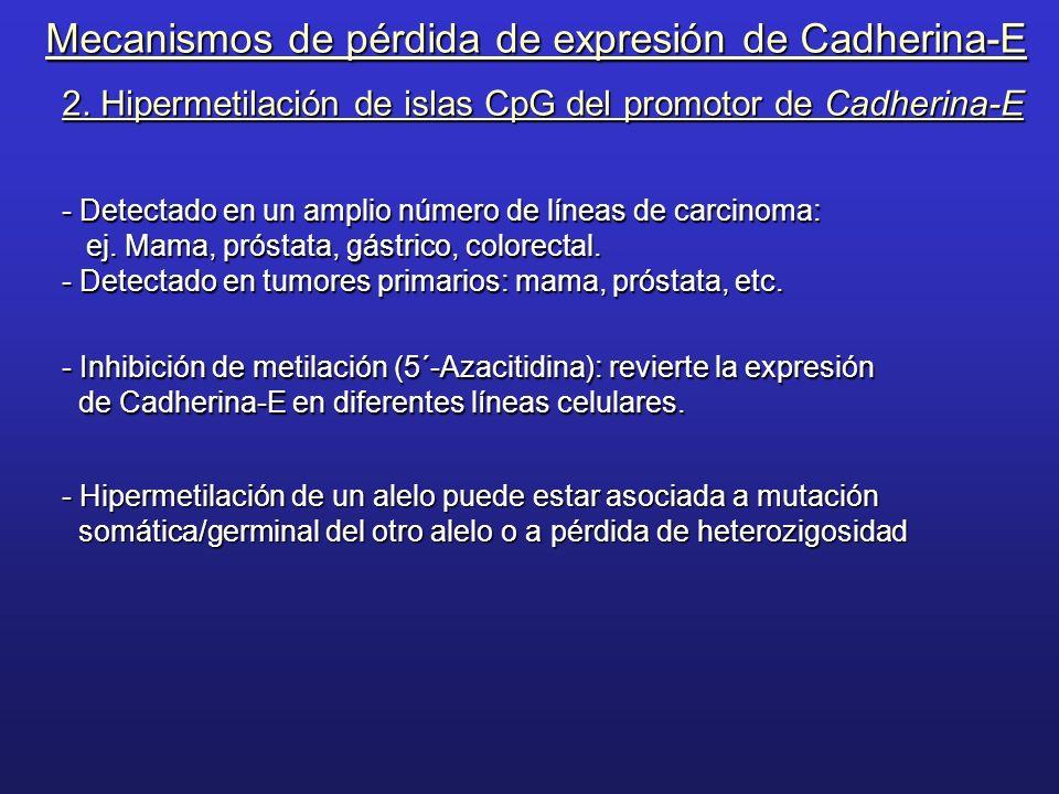 2. Hipermetilación de islas CpG del promotor de Cadherina-E - Detectado en un amplio número de líneas de carcinoma: ej. Mama, próstata, gástrico, colo