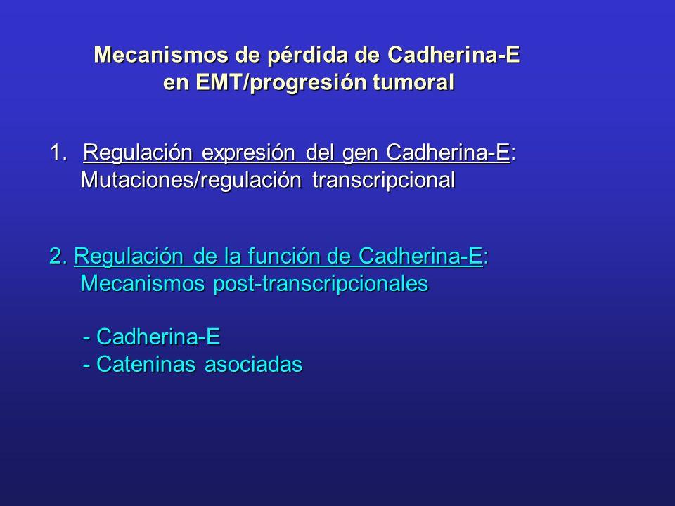 Mecanismos de pérdida de Cadherina-E en EMT/progresión tumoral 1.Regulación expresión del gen Cadherina-E: Mutaciones/regulación transcripcional Mutac