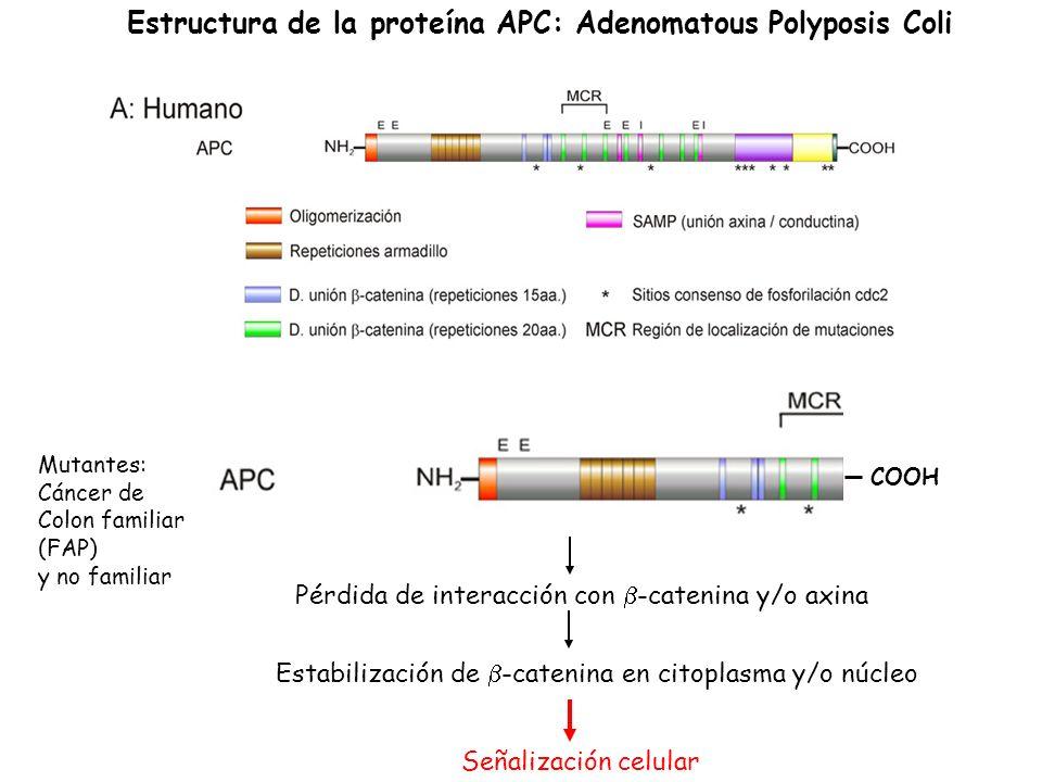 Estructura de la proteína APC: Adenomatous Polyposis Coli Mutantes: Cáncer de Colon familiar (FAP) y no familiar COOH Pérdida de interacción con -cate