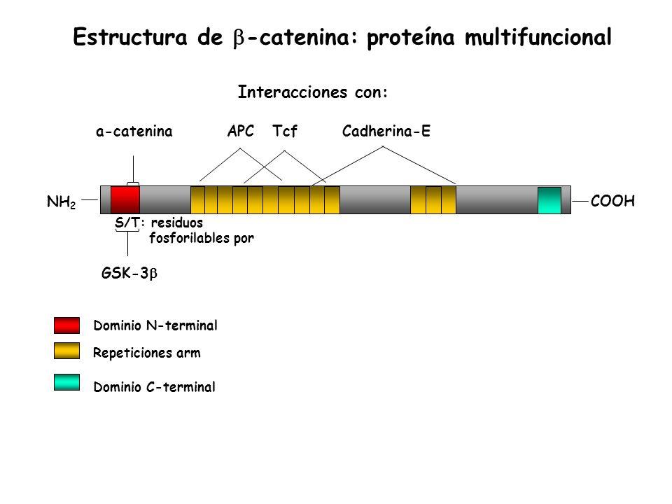 a-catenina GSK-3 APCTcfCadherina-E NH 2 COOH S/T: residuos fosforilables por Dominio N-terminal Dominio C-terminal Repeticiones arm Interacciones con: